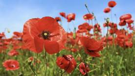 Britain's Poppies: The First World War Remembered